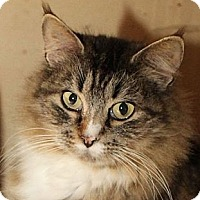 Domestic Longhair Cat for adoption in Winston-Salem, North Carolina - Athena