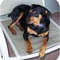 Adopt A Pet :: Noel - Florissant, MO