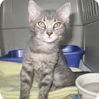 Adopt A Pet :: Nuvoni - Shelton, WA