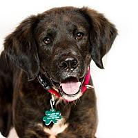 Adopt A Pet :: Royce - Alpharetta, GA