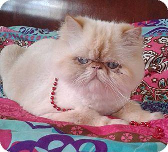 Persian Cat Rescue Miami Fl