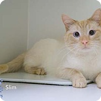 Adopt A Pet :: Slim - Merrifield, VA