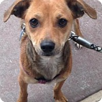 Adopt A Pet :: Ginger - Sunnyvale, CA