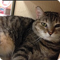 Domestic Shorthair Cat for adoption in Marion, North Carolina - Ze'rah