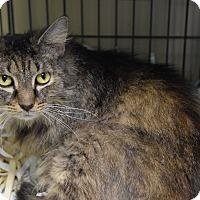 Maine Coon Cat for adoption in Pottsville, Pennsylvania - Erma