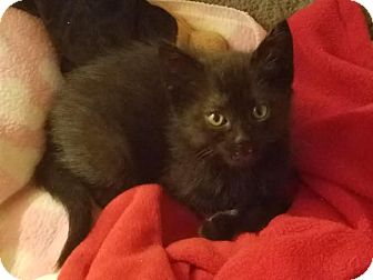 Domestic Shorthair Kitten for adoption in Westminster, California - Pepper