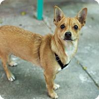 Adopt A Pet :: Angus - Los Angeles, CA