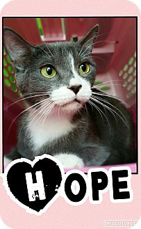 Domestic Shorthair Kitten for adoption in Edwards AFB, California - Hope