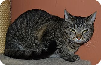 Domestic Shorthair Cat for adoption in Michigan City, Indiana - Houdini