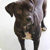 Adopt A Pet :: BIG EASY: A SURVIVOR! - Cleveland, MS