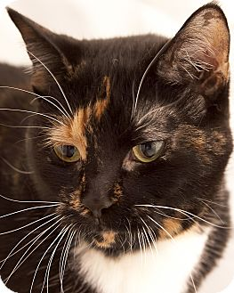 Domestic Shorthair Cat for adoption in Chaska, Minnesota - Amber
