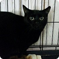 Domestic Shorthair Cat for adoption in Windsor, Connecticut - Gin