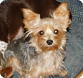 Yorkie, Yorkshire Terrier Mix Dog for adoption in Conesus, New York - Millie ~foster to adopt~