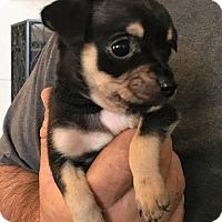 Adopt A Pet :: Xina - Oakley, CA