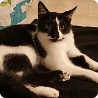 American Shorthair Kitten for adoption in Sharon Center, Ohio - Maurice
