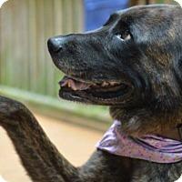 Labrador Retriever Mix Dog for adoption in Albemarle, North Carolina - Xena