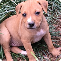 Adopt A Pet :: Peaches  (ETAA) - Plainfield, CT
