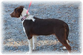 Labrador Retriever/Terrier (Unknown Type, Medium) Mix Puppy for adoption in Waxhaw, North Carolina - Muffin