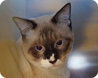Siamese Cat for adoption in Sierra Vista, Arizona - Mack
