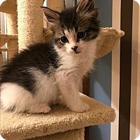 Adopt A Pet :: Zuzu - Whitehall, PA
