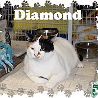 Adopt A Pet :: Diamond - Fallston, MD
