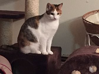 Domestic Shorthair Cat for adoption in Islip, New York - Kendra