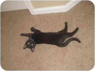 Domestic Shorthair Kitten for adoption in Davis, California - Lupin
