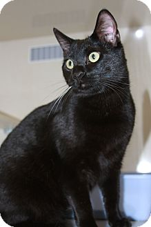 Domestic Shorthair Cat for adoption in Phoenix, Arizona - Riley
