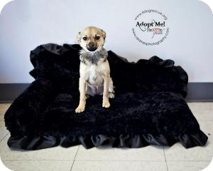 Chihuahua/Terrier (Unknown Type, Small) Mix Puppy for adoption in Shawnee Mission, Kansas - Nikita