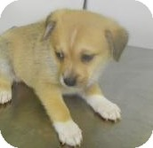 Shepherd (Unknown Type)/Collie Mix Puppy for adoption in Lincolnton, North Carolina - Frodo