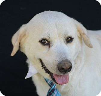 Labrador Retriever Mix Dog for adoption in Plano, Texas - Cano