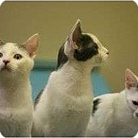 Adopt A Pet :: Siblings Ranger,Racer,Junipurr - Chicago, IL