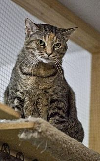 Domestic Shorthair Cat for adoption in Midway City, California - Willow
