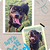 Adopt A Pet :: Good Dog Carl - Gilbert, AZ
