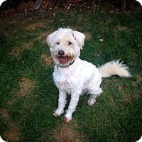 Labradoodle Mix Dog for adoption in Encino, California - Halo
