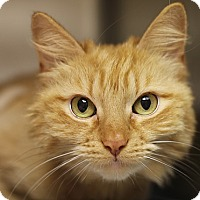 Adopt A Pet :: Pumpkin - Norwalk, CT