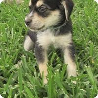 Adopt A Pet :: Barney - Bedford, TX