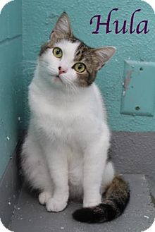 Domestic Shorthair Cat for adoption in Bradenton, Florida - Hula