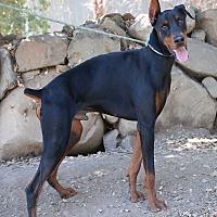 Doberman Pinscher Dog for adoption in Fillmore, California - Denahi