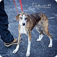 Hound (Unknown Type) Mix Dog for adoption in Springfield, Missouri - Roxy