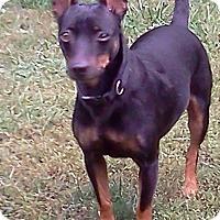Miniature Pinscher Dog for adoption in Laingsburg, Michigan - Millie