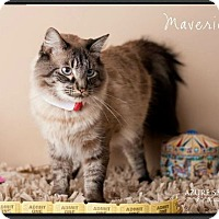 Adopt A Pet :: Maverick - Gilbert, AZ