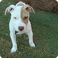 Pit Bull Terrier Mix Puppy for adoption in Alpharetta, Georgia - TiaMarie