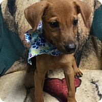Golden Retriever Mix Puppy for adoption in Albany, New York - Charley