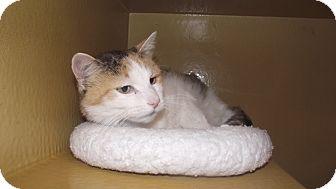 Domestic Shorthair Cat for adoption in Appleton, Wisconsin - Fatty Cat *Petsmart GB*