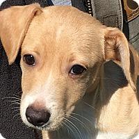 Adopt A Pet :: Rumba - Pennigton, NJ