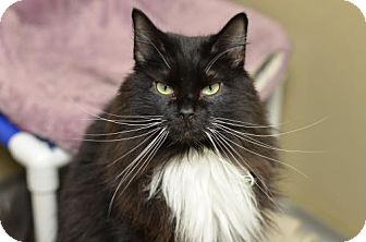 Domestic Longhair Cat for adoption in Atlanta, Georgia - Zebra Cakes161909
