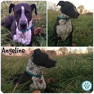 Pointer Mix Dog for adoption in Kimberton, Pennsylvania - Angeline