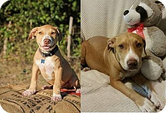 Pit Bull Terrier Mix Dog for adoption in Clifton, Texas - Murphy