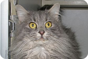 Persian Cat for adoption in Ruidoso, New Mexico - Fancy